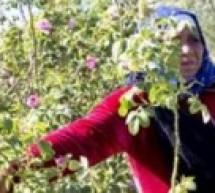 نساء الورد… مغربيات يسعين إلى حياة أفضل